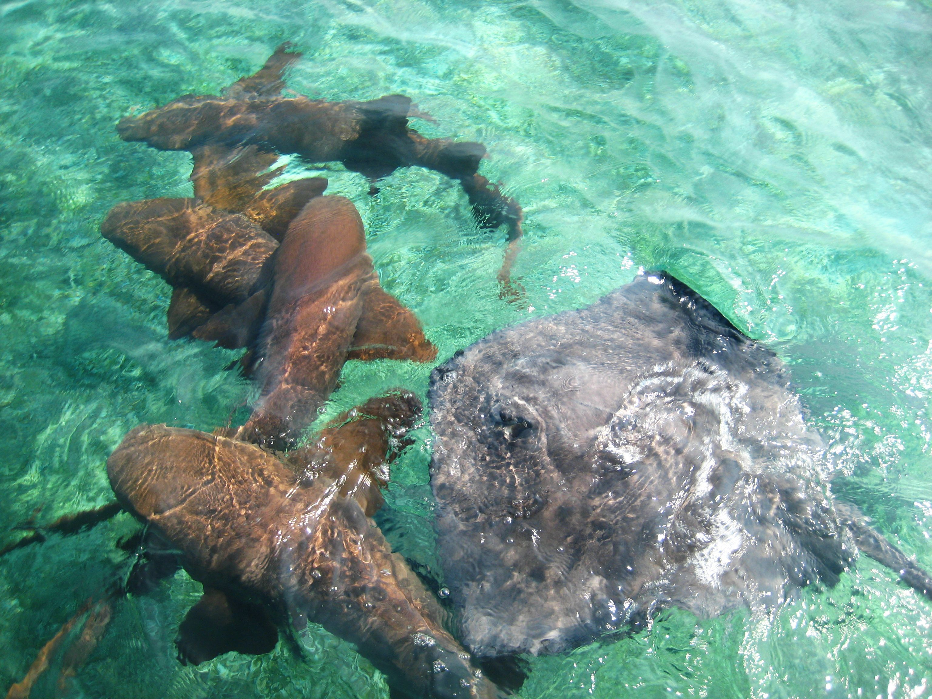 Sharks and stingrays in the waters of the cayes in Belize