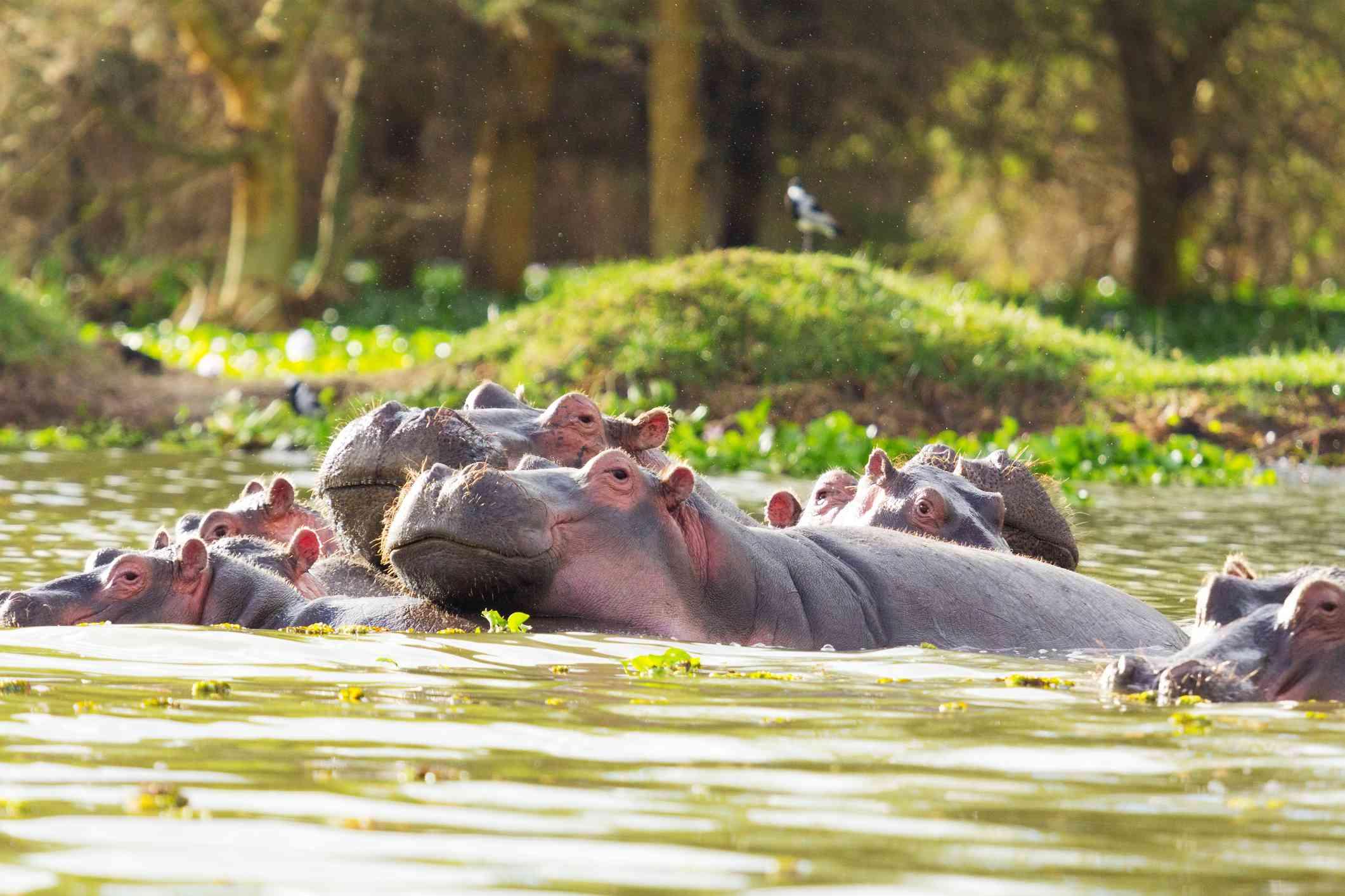 Family of hippopotamus on Lake Naivasha, Kenya
