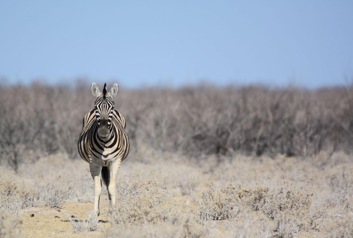 A zebra staring straight ahead
