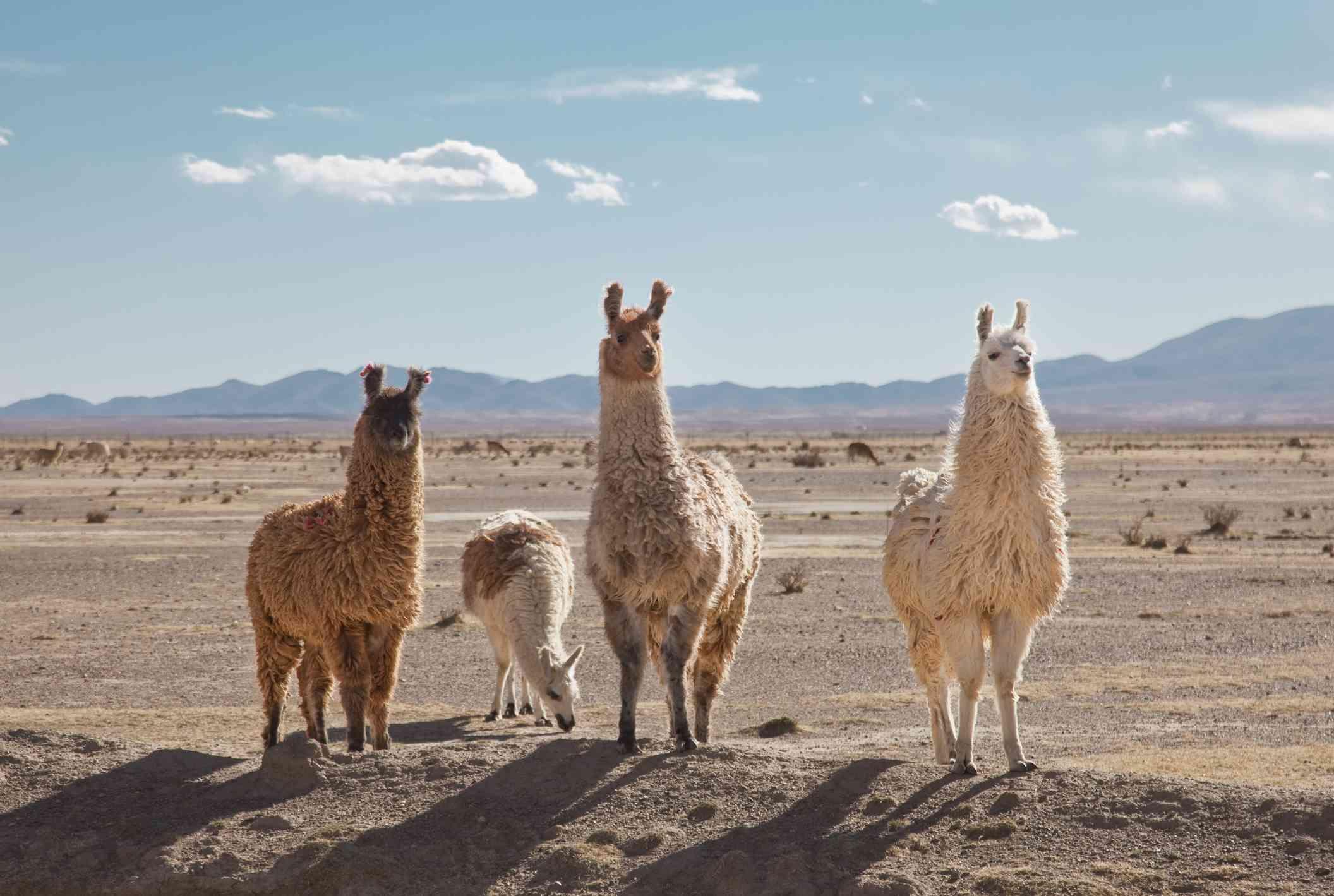 Llamas en el desierto alto