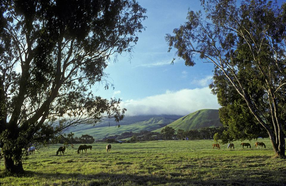 Hawaii, Big Island, Waimea, Horses in pasture at Pu'uopelu, Parker Ranch Headquarters