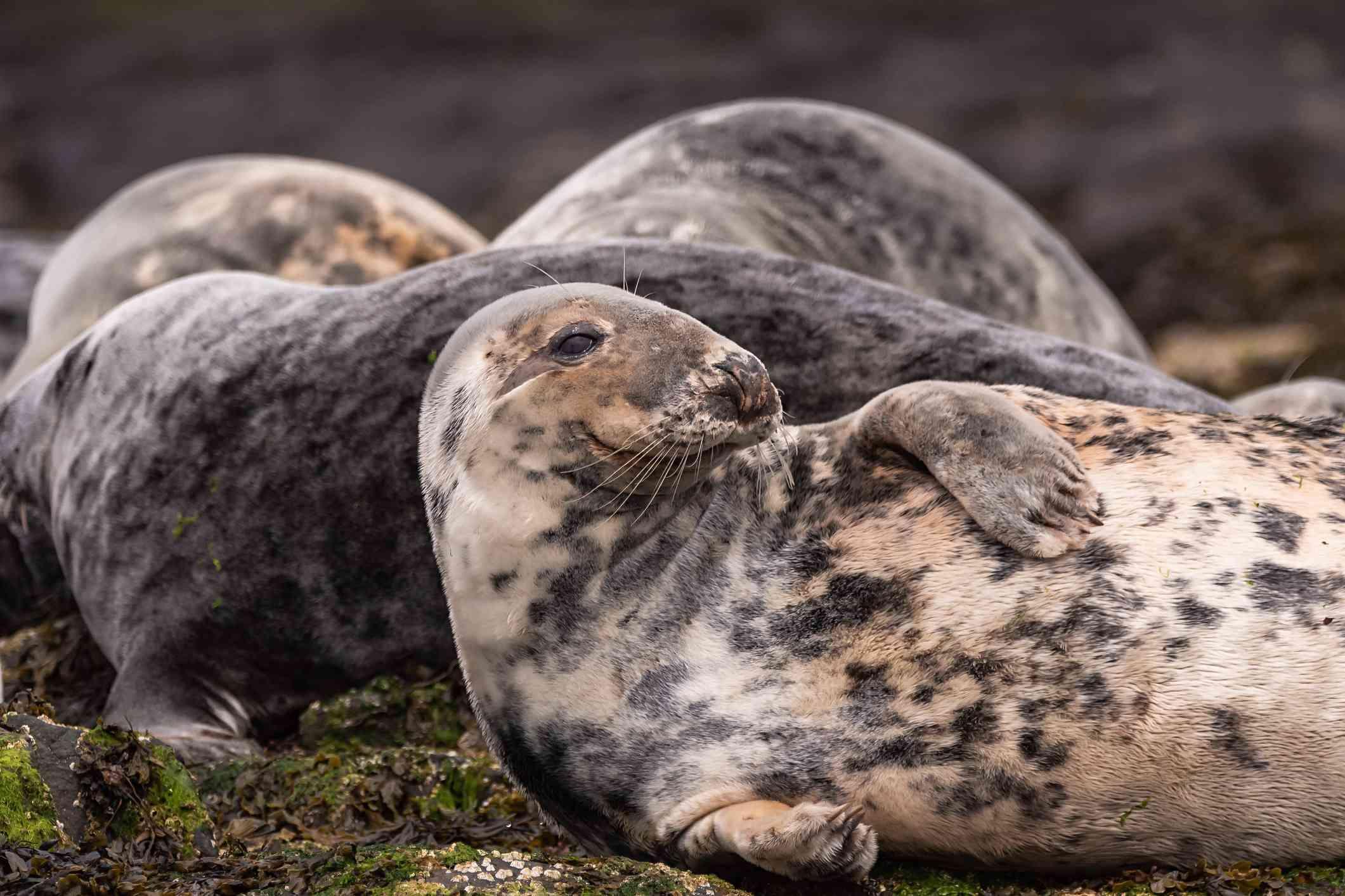 Grey seals resting on the rocks, Farne Islands