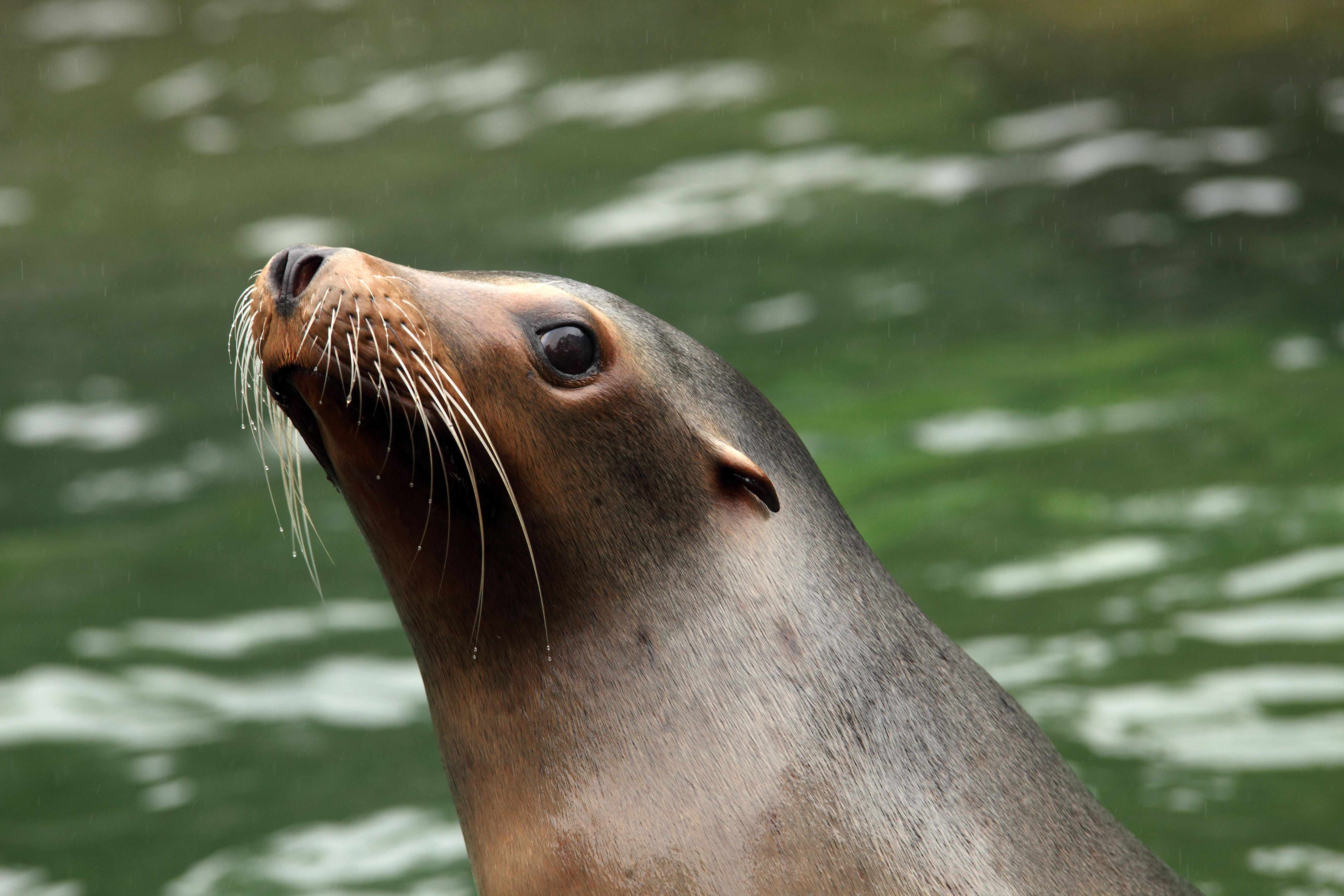Seal at Prospect Park Zoo