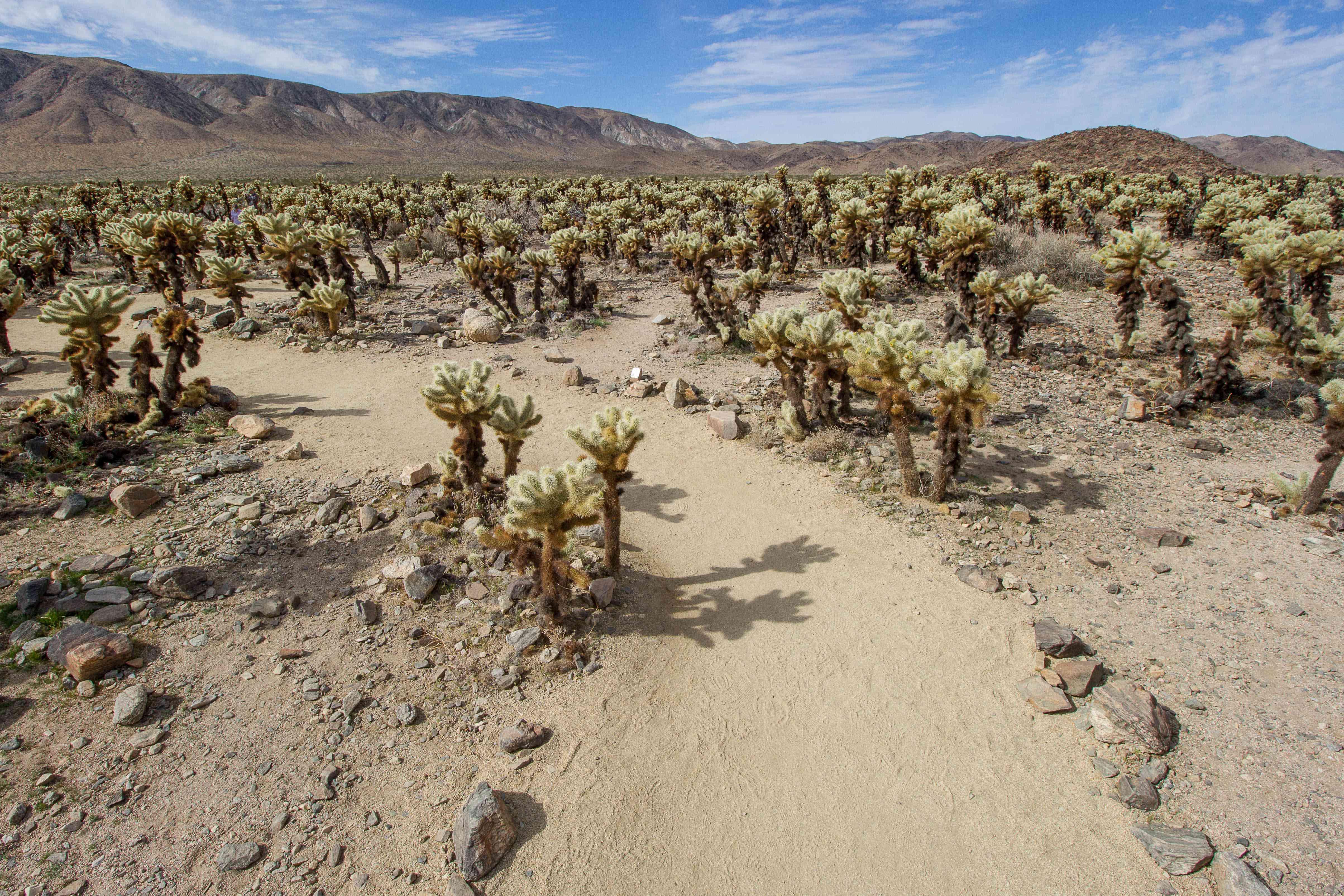 a walking path through cacti in Joshua Tree