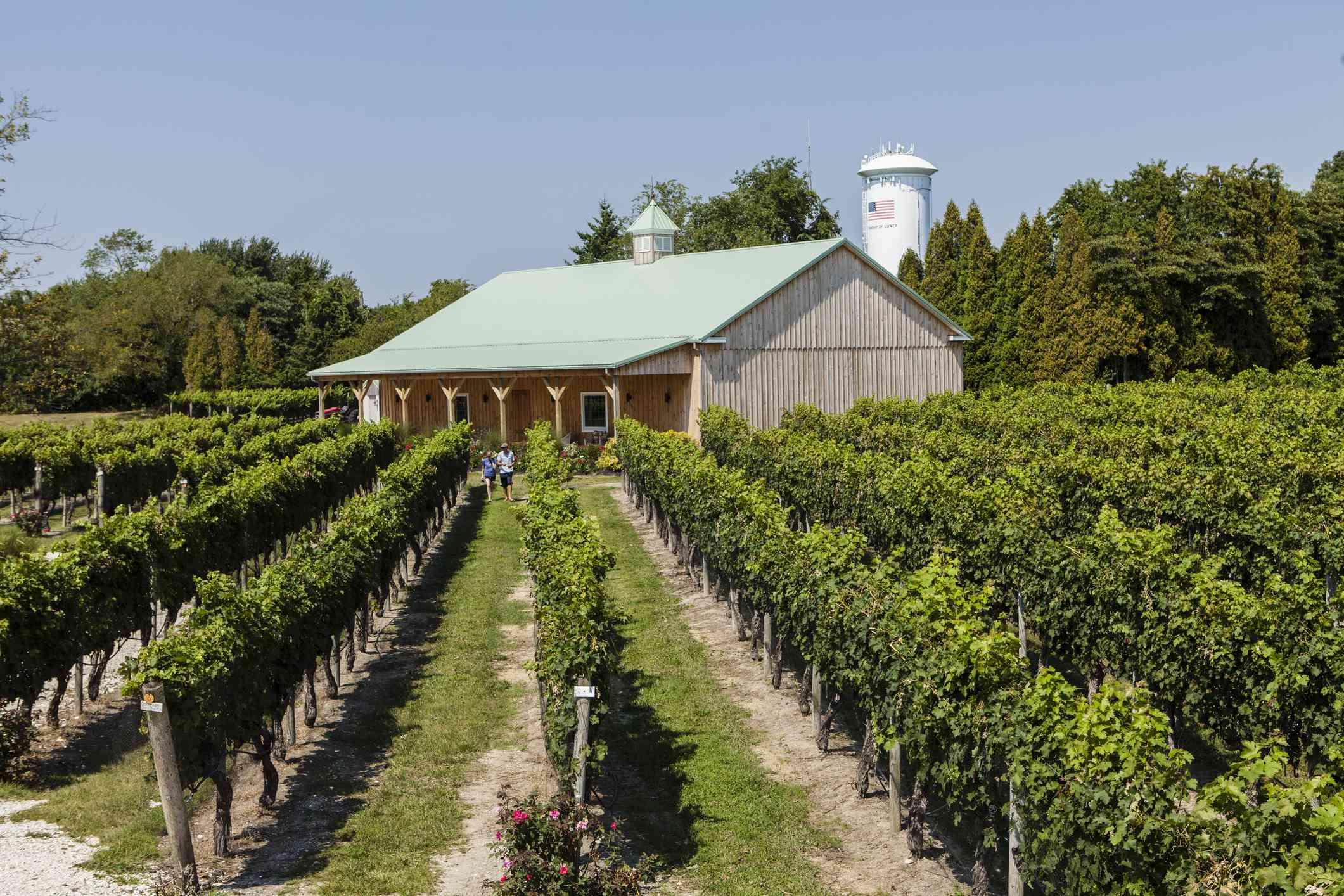 Cabernet Sauvignon grape vines