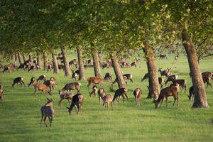 Great Britain, England, Berkshire, Windsor, Windsor Castle, deer at Windsor Great Park