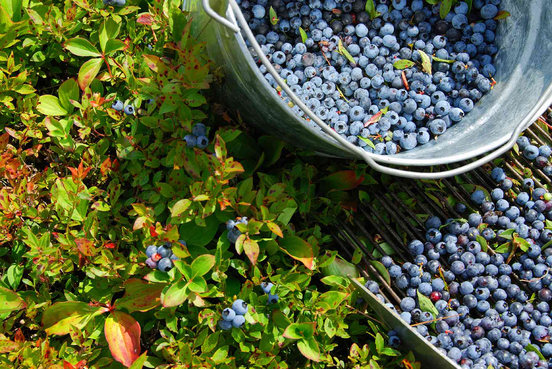 A metal bucket of blueberries and a bush