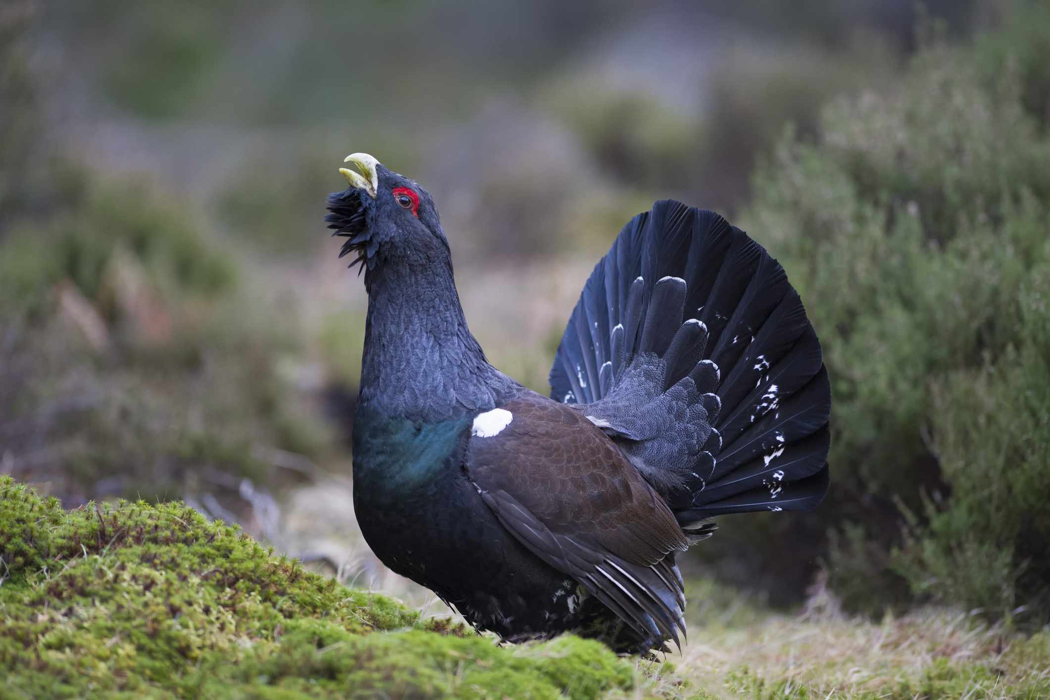 Male capercaillie calling, Scotland