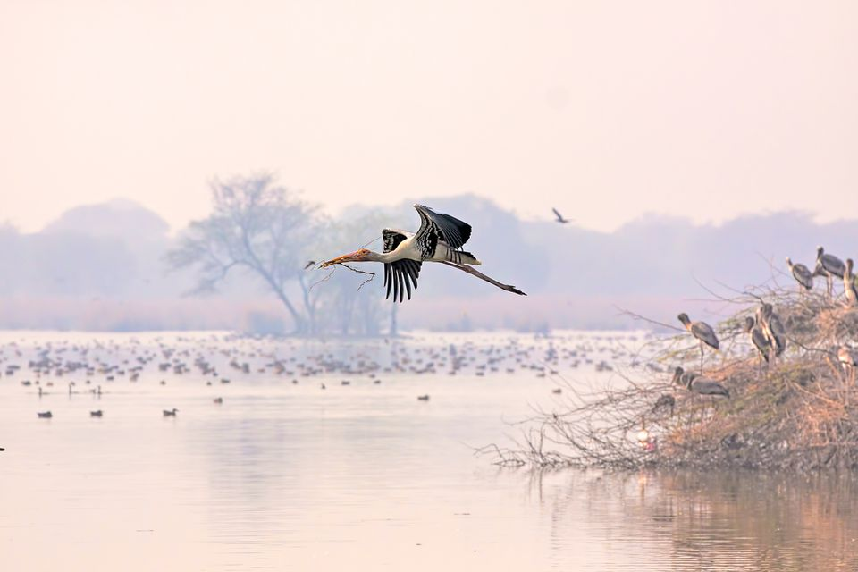 Painted stork in flight at Bharatpur.
