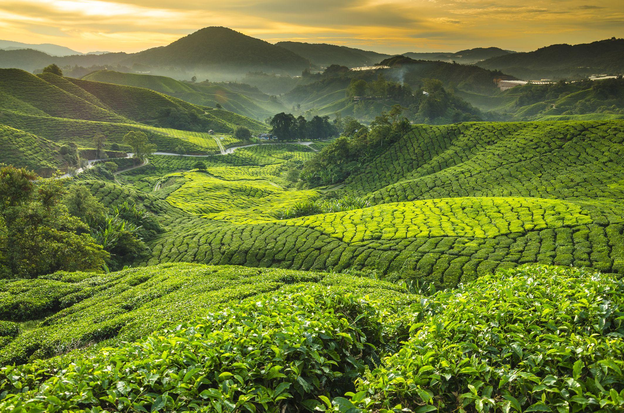 Malaysia, Pahang, Cameron Highlands, Brinchang, Te