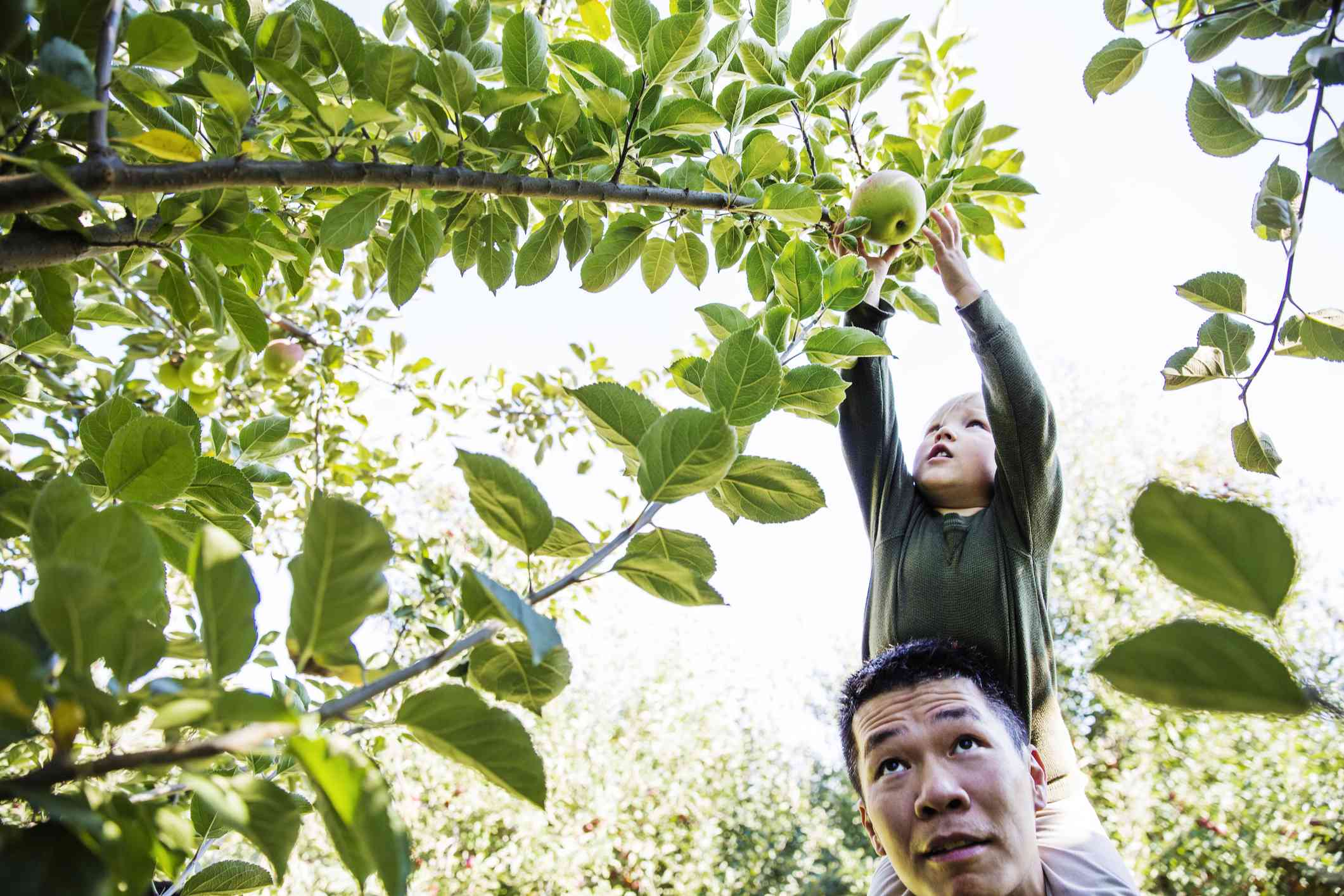 Father carrying son on shoulders while harvesting in orchard