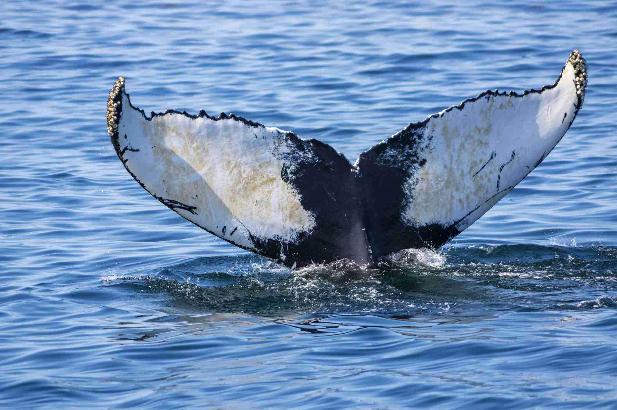 Whale tail, Acadia National Park, Bar Harbor