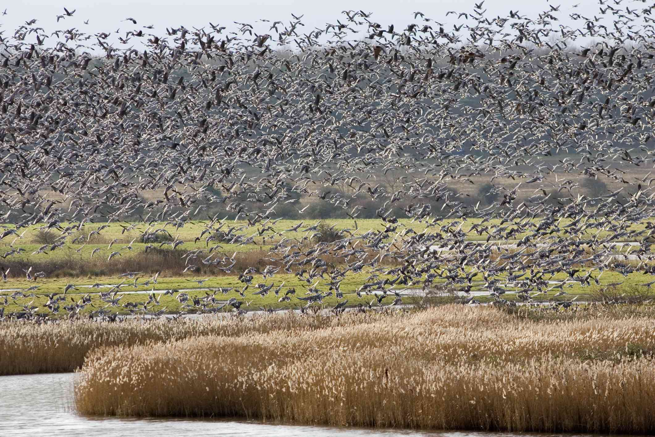 Flocks of pink-footed geese in flight over marshland