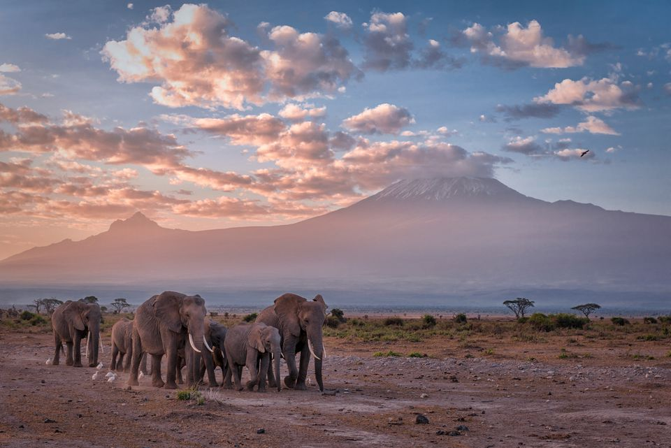Elephants walk in front of Mount Kilimanjaro, Amboseli National Park
