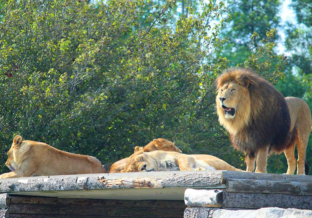 Tawny Lions on Rock at African Lion Safari