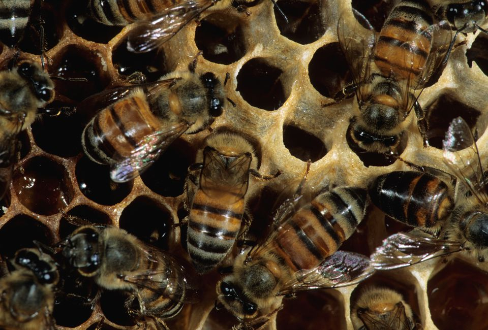 Worker Africanized Honey Bees at work on the honeycomb