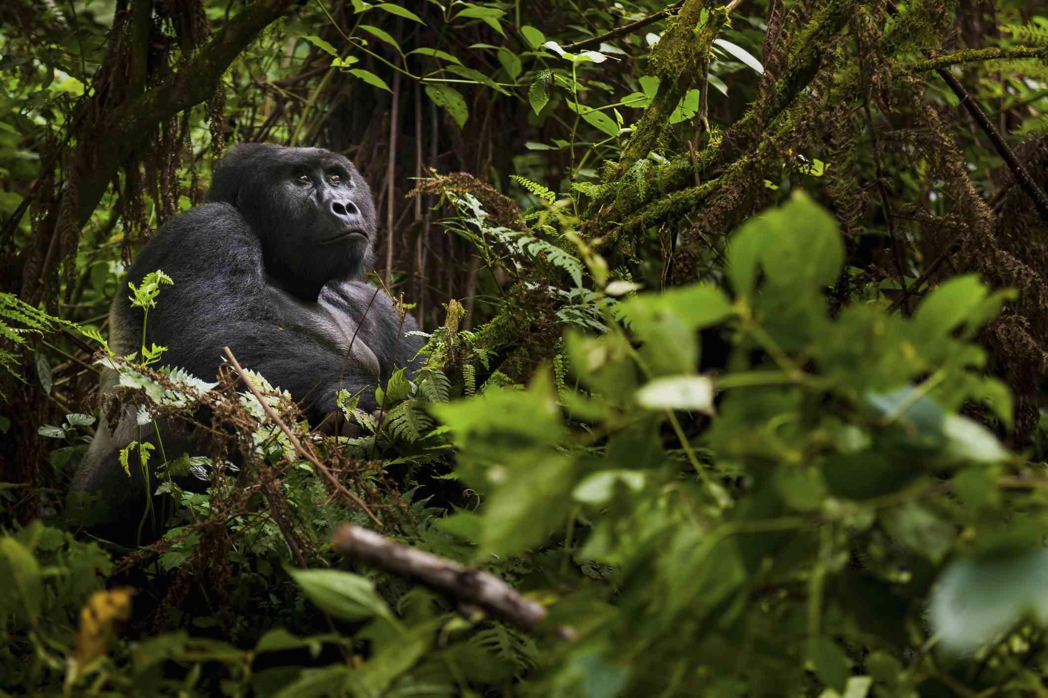Gorilla in the jungle, Volcanoes National Park