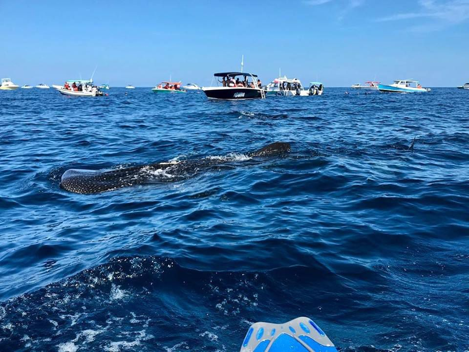 Author Swimming with Whale Sharks