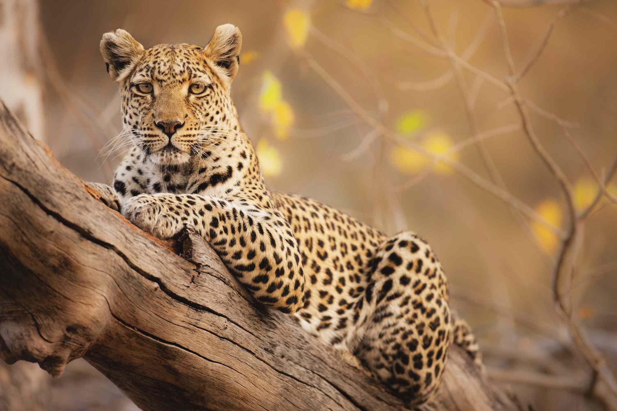 Leopard at Moremi Game Reserve, Botswana