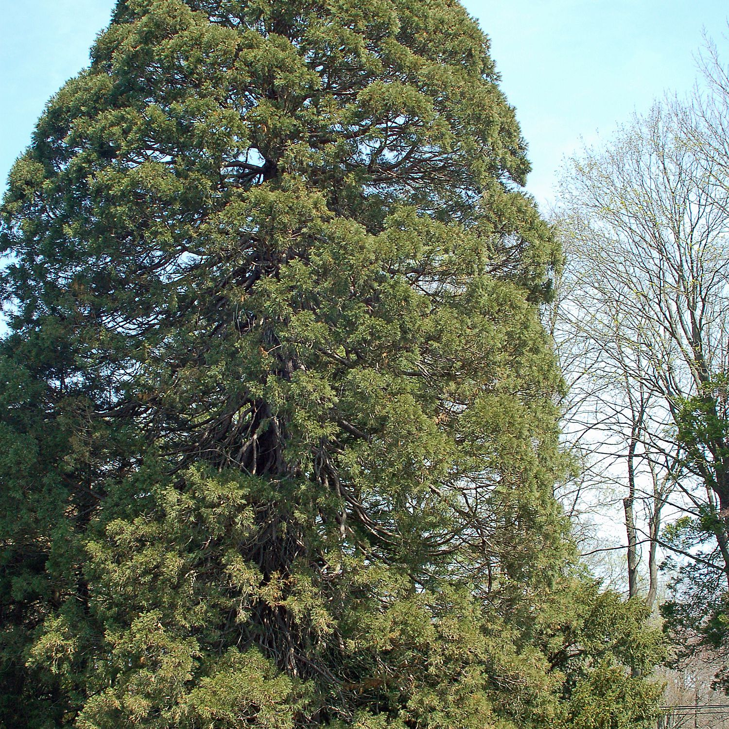Picture of Giant Sequoia at Blithewold in Rhode Island