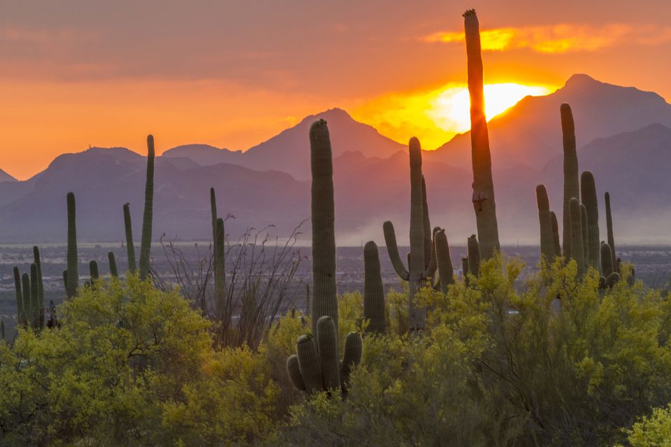 Saguaro cacti (Carnegiea gigantea) at sunset, Saguaro National Park, Arizona, USA