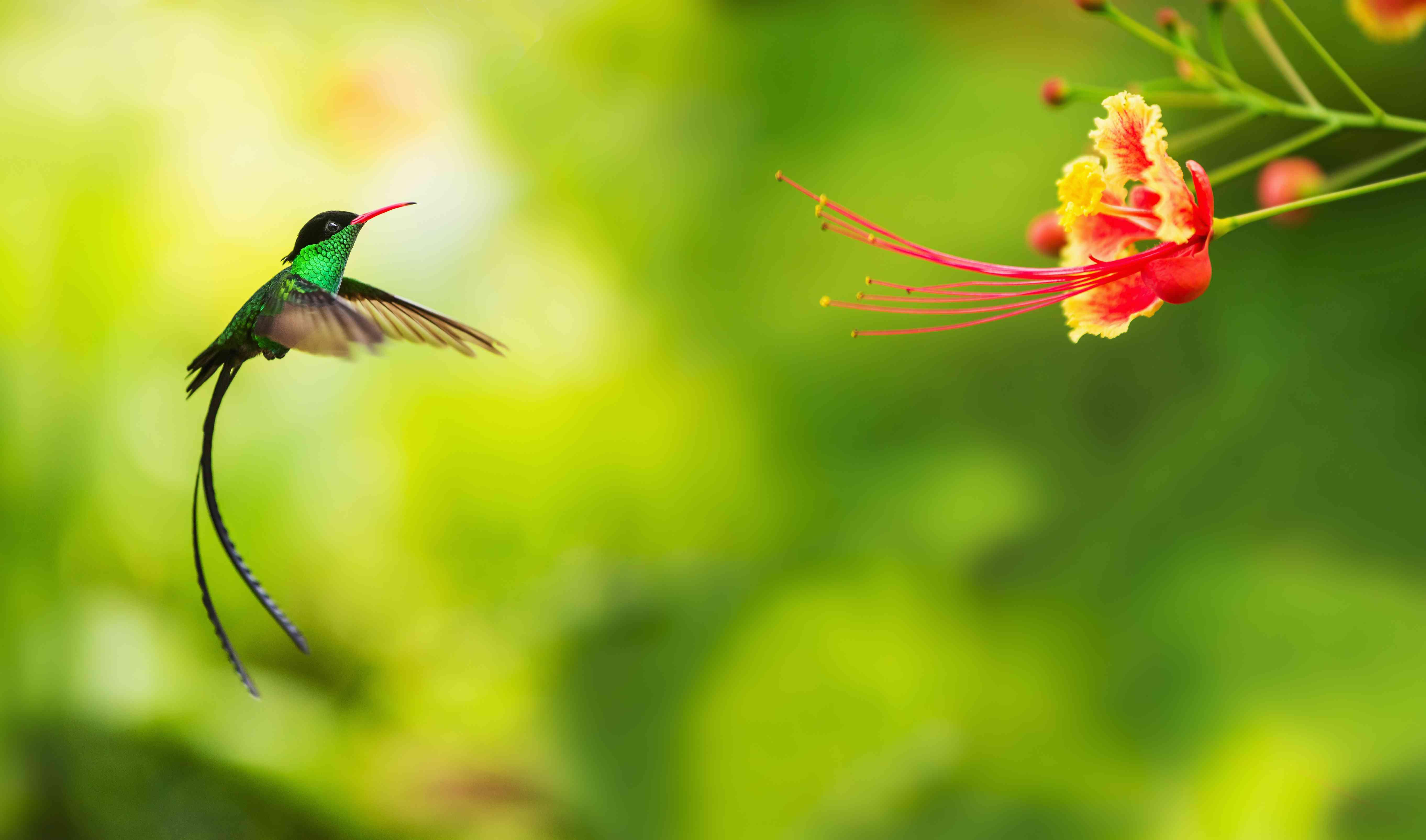 Hummingbird in flight in Jamaica