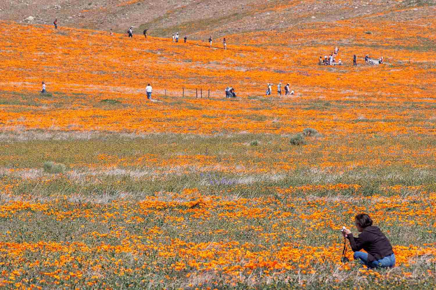 Antelope Valley Poppy Reserve: What to Know About It