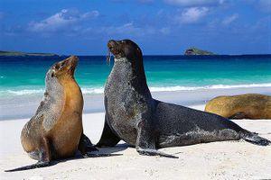 Espanola Island, Galapagos Islands. Galapagos sea lions are a subspecies of the Californian sea lion.