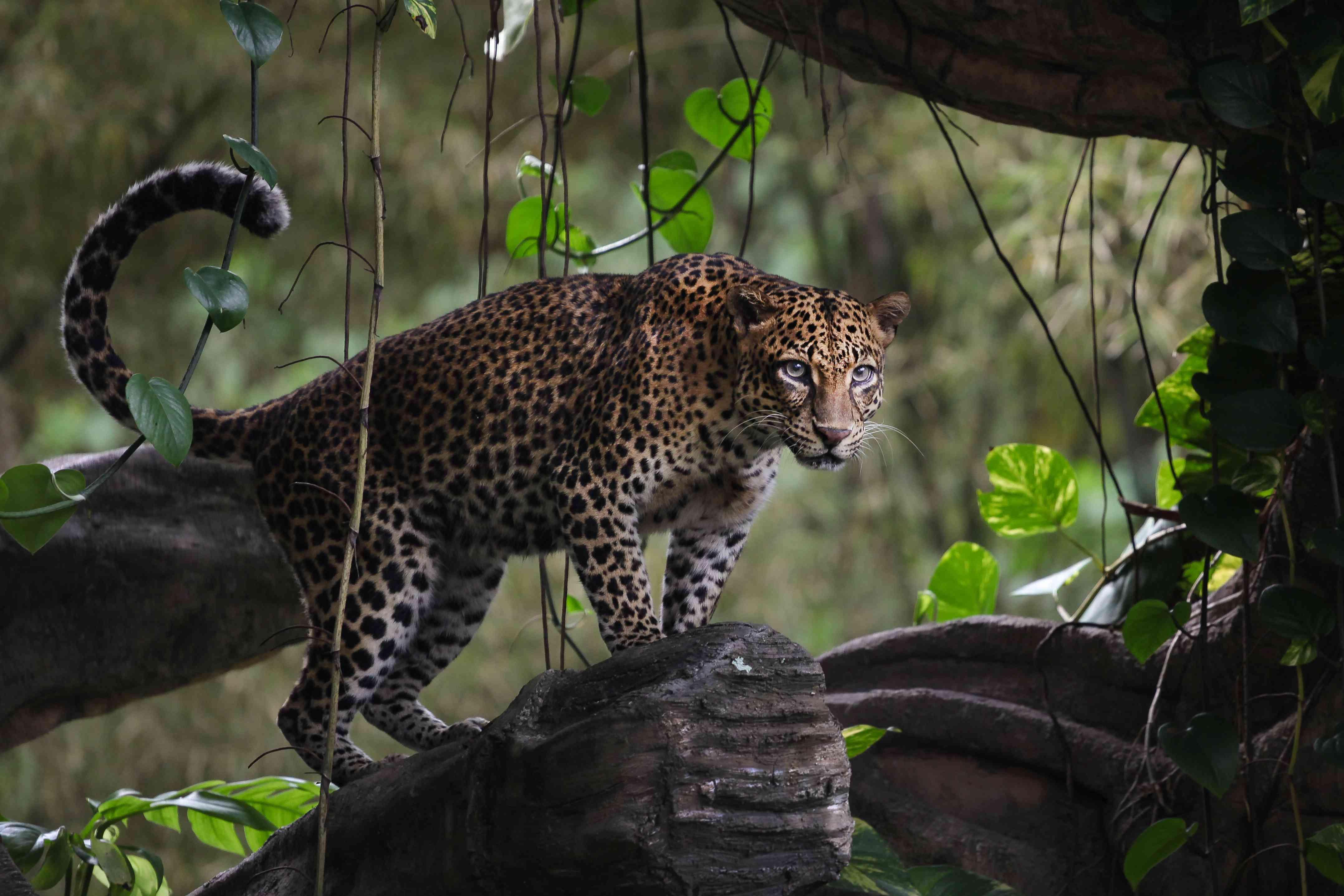 A leopard in a tree in Indonesia