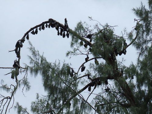Flying Foxes (Fruit-Eating Bats) in Papua New Guinea