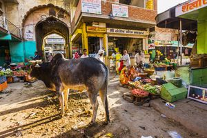 Cow in India.