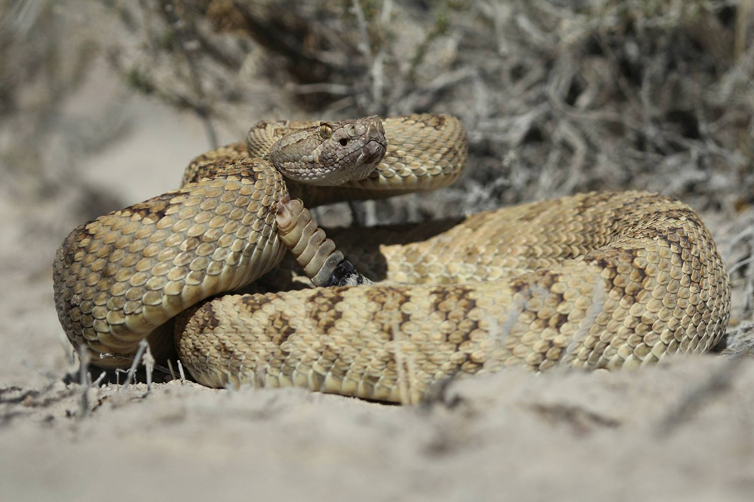 How to Identify the Venomous Snakes of Utah