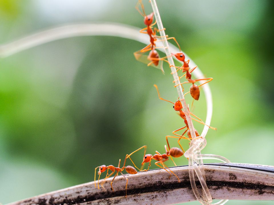 Close-Up Of Fire Ants On String And Cable