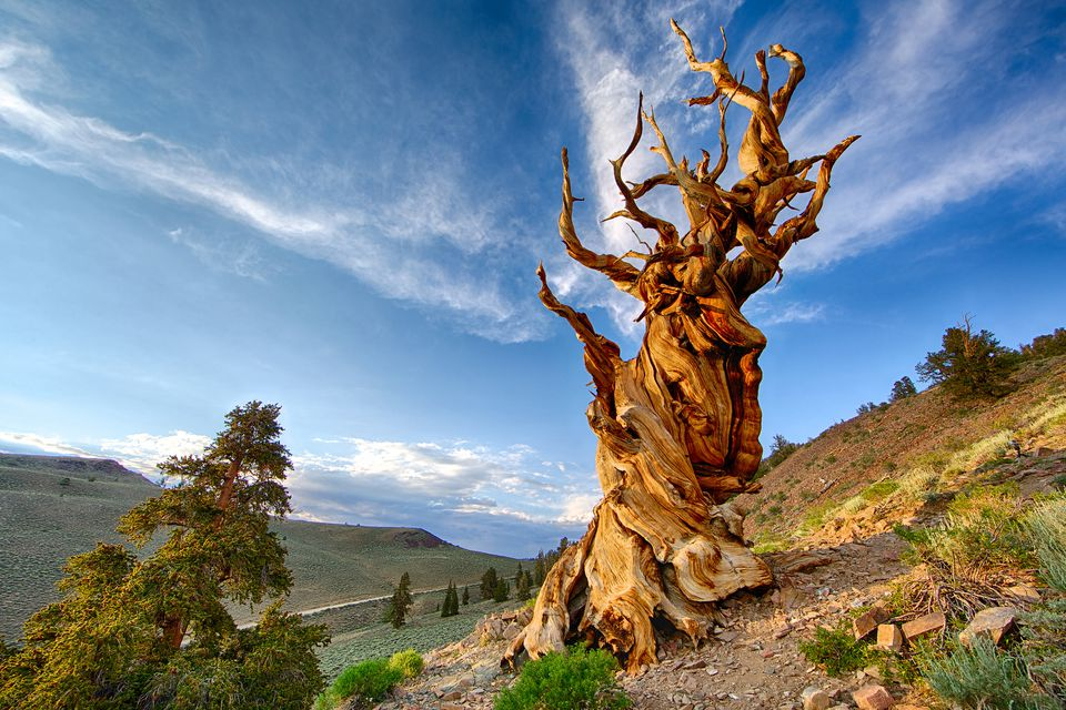 California's Bristlecone Pines