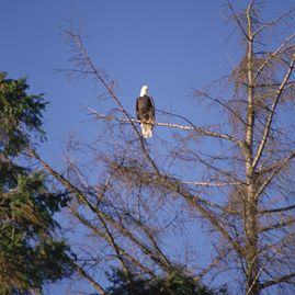 Bald Eagle Roosting in a Snag, Skagit Valley near Mount Vernon