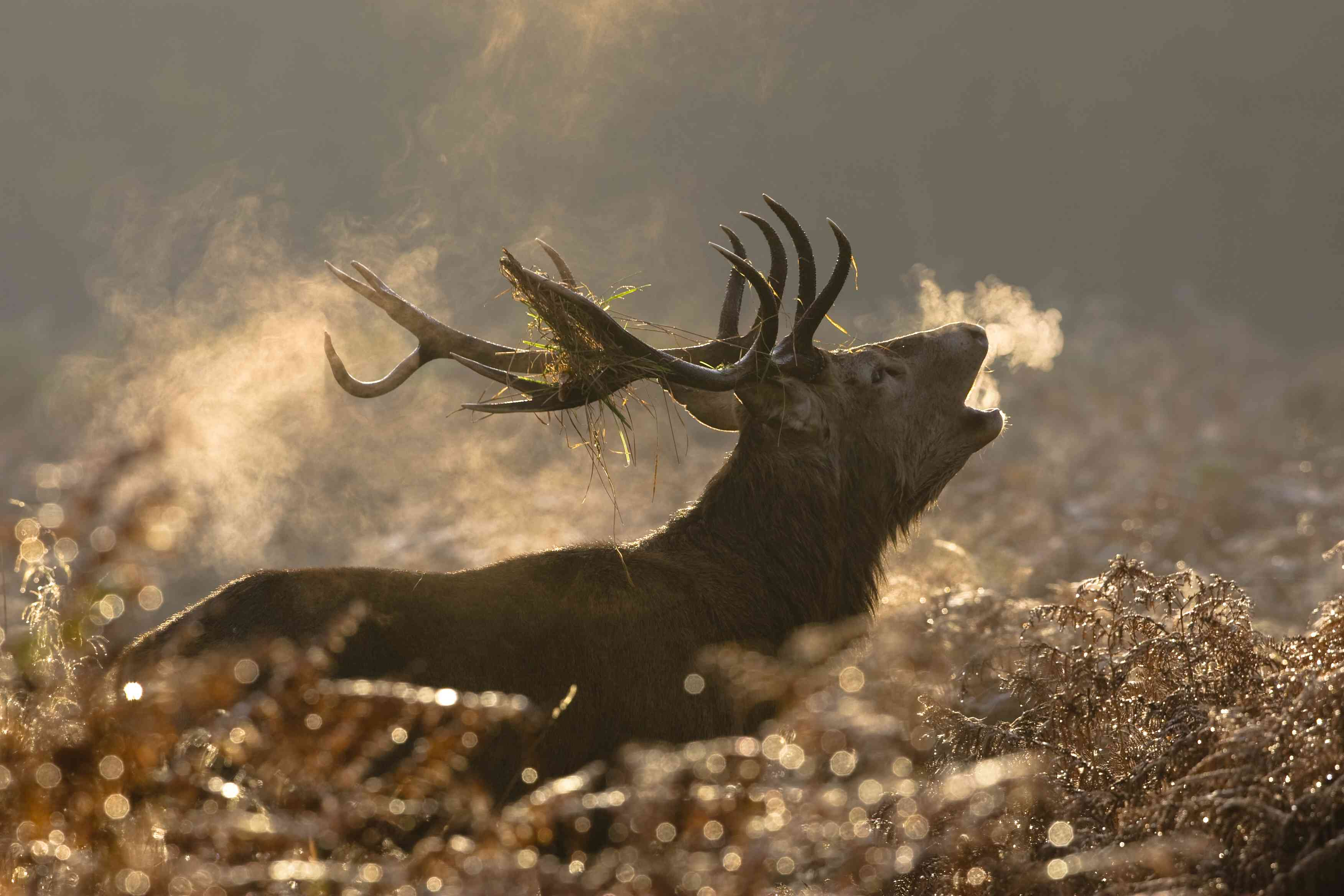 Red deer calling on a misty morning during the rut, England