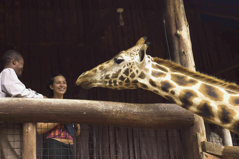 Giraffe greeting visitors at the Giraffe Centre, Nairobi