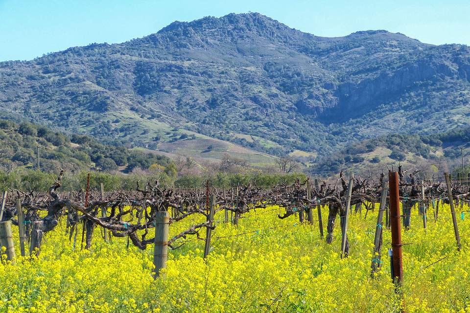 Napa Valley Vineyard in Early Spring