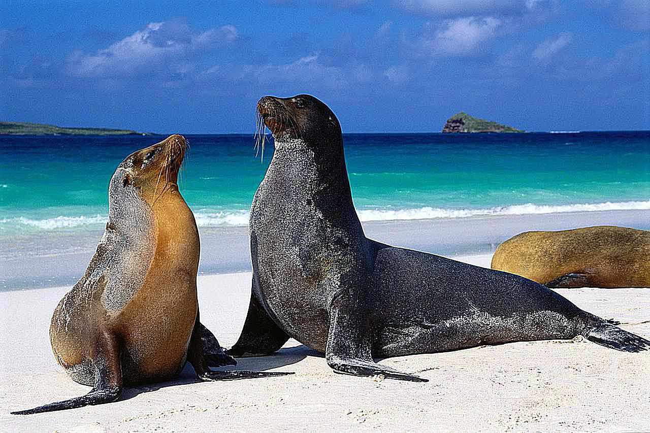 Isla Española, Islas Galápagos. Los leones marinos de las Islas Galápagos son una subespecie del lobo marino californiano