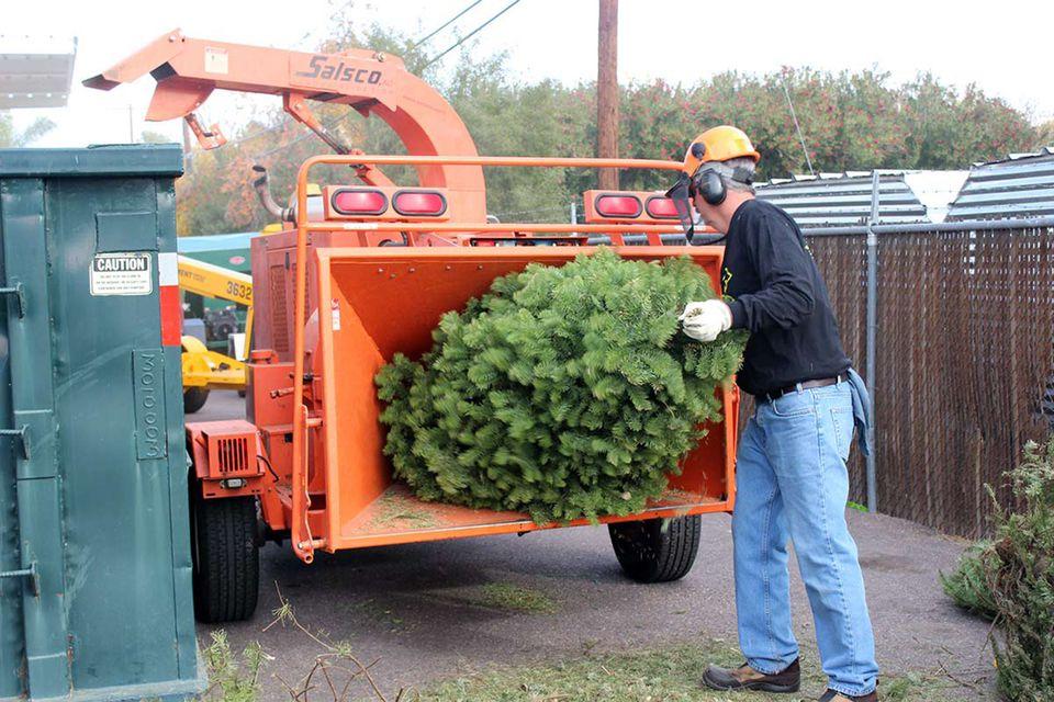 Christmas tree mulching