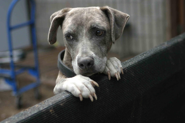 File:Blue brindle dog looking on a fence.jpg