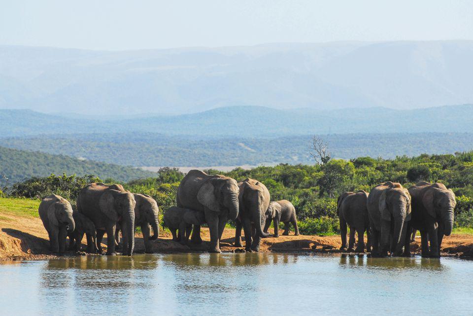 Rebaño de elefantes bebiendo del pozo de agua en el Parque Nacional de Elefantes Addo