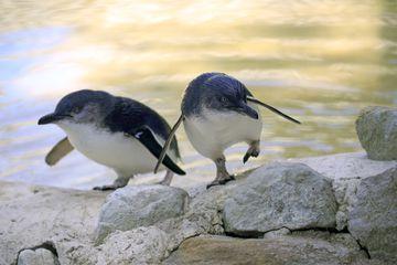 Little Penguin, (Eudyptula minor), adult couple going shore, spreads wings, Kangaroo Island, South Australia, Australia