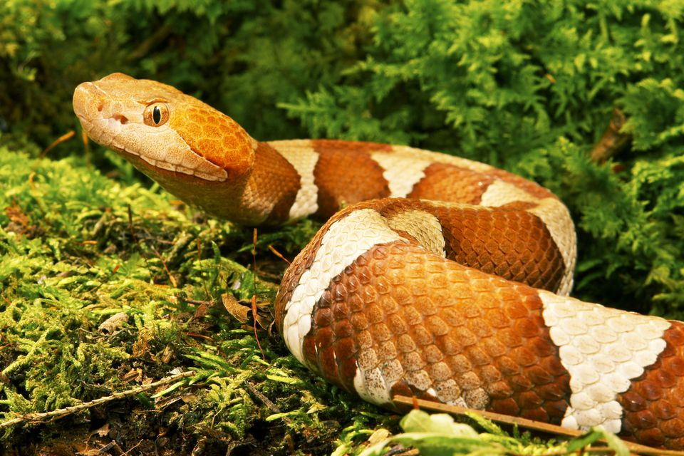 This broad-banded copperhead is one of about 270 species of cobras and their relatives alive today.