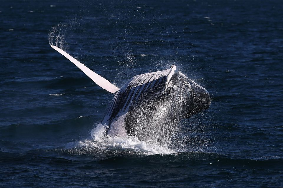 Whale Watching Season Underway On Australia's East Coast