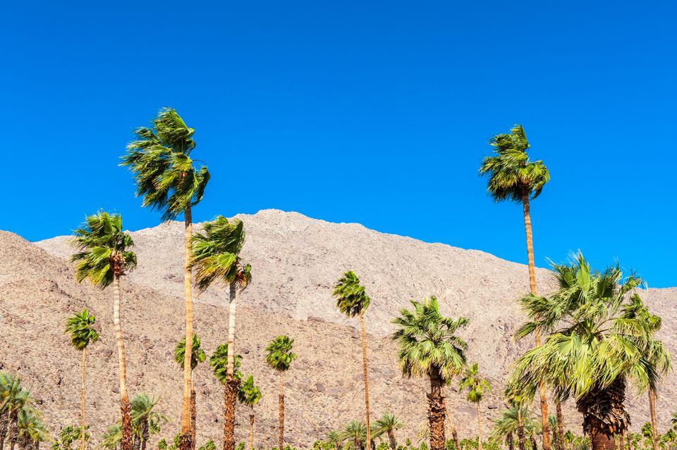 Palm Trees in Palm Springs CA