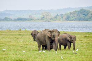 Elephants spotted on a safari in Sri Lanka