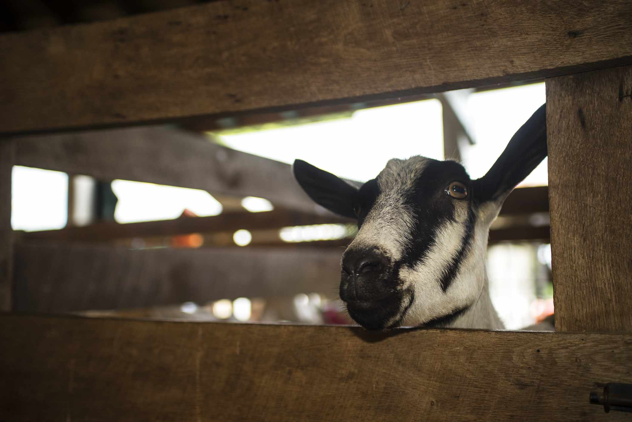 Curious Goat, Dutchess County Fair