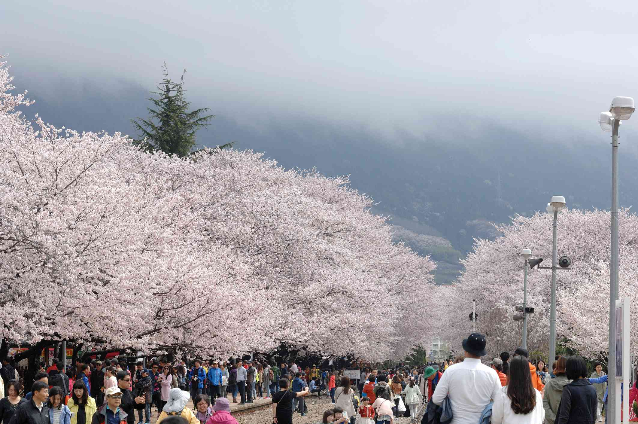 Cherry blossoms in Jinhae-si, South Korea