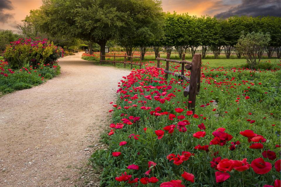 Red Corn Poppies in Fredericksburg, Texas